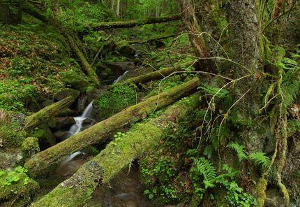Pure Wildnis: Totholz liegt über einem Bachlauf