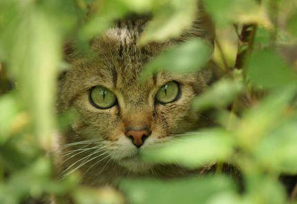 Eine Wildkatze schaut zwischen Sträuchern in die Kamera.