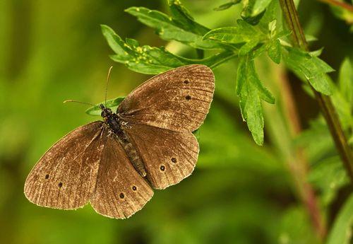 Brauner Schmetterling auf einem Blatt