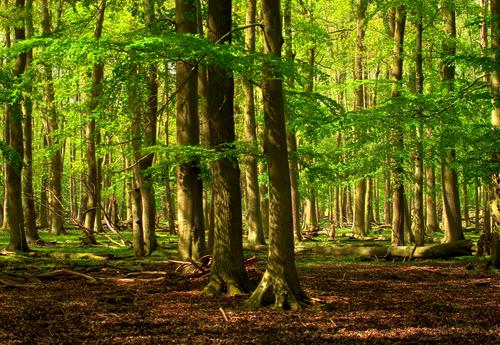 Sonnenlicht im Walde