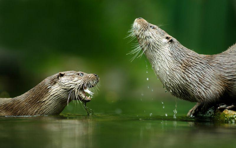 Auf dem Bild sind zwei Fischotter. Einer liegt rechts am Ufer und der andere schwimmt gegenüber von ihm im wasser. Der schwimmende Fischotter hat einen Fisch gefangen und hält diesen im Maul.
