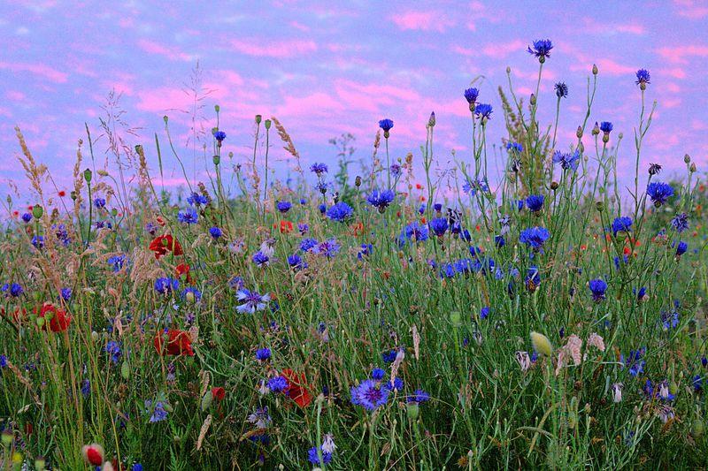 Eine Blumenwiese im Abendlicht