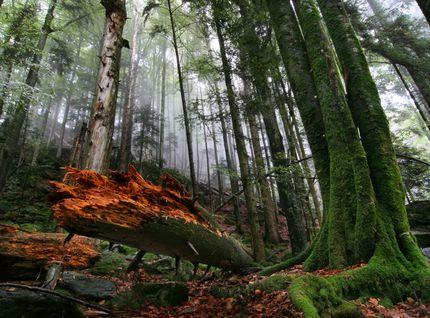 Zweribach Bannwald
