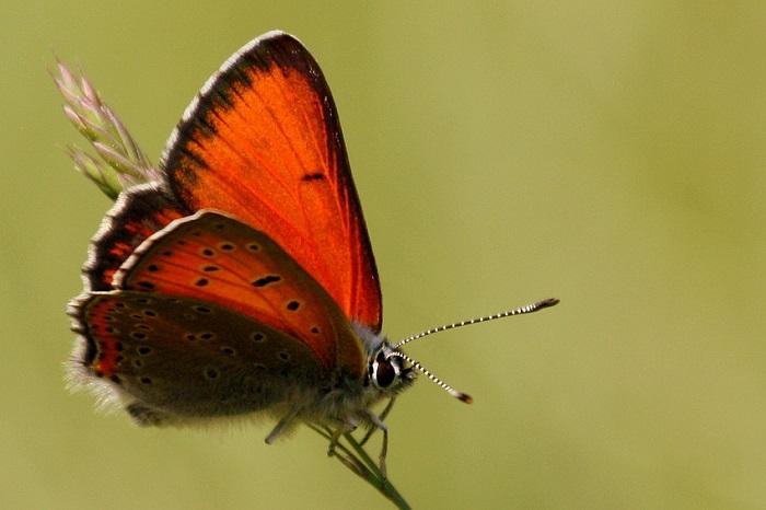 Das Bild zeigt die Schmetterlingsart Großer Feuerfalter