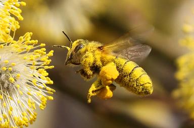 Eine Biene ist voller Blütenstaub und fliegt eine gelbe Blüte an