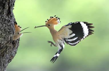 Ein Wiedehopf fliegt zu einem Baum und füttert sein Junges. Das Bild zeigt die Situation in Nahaufnahme